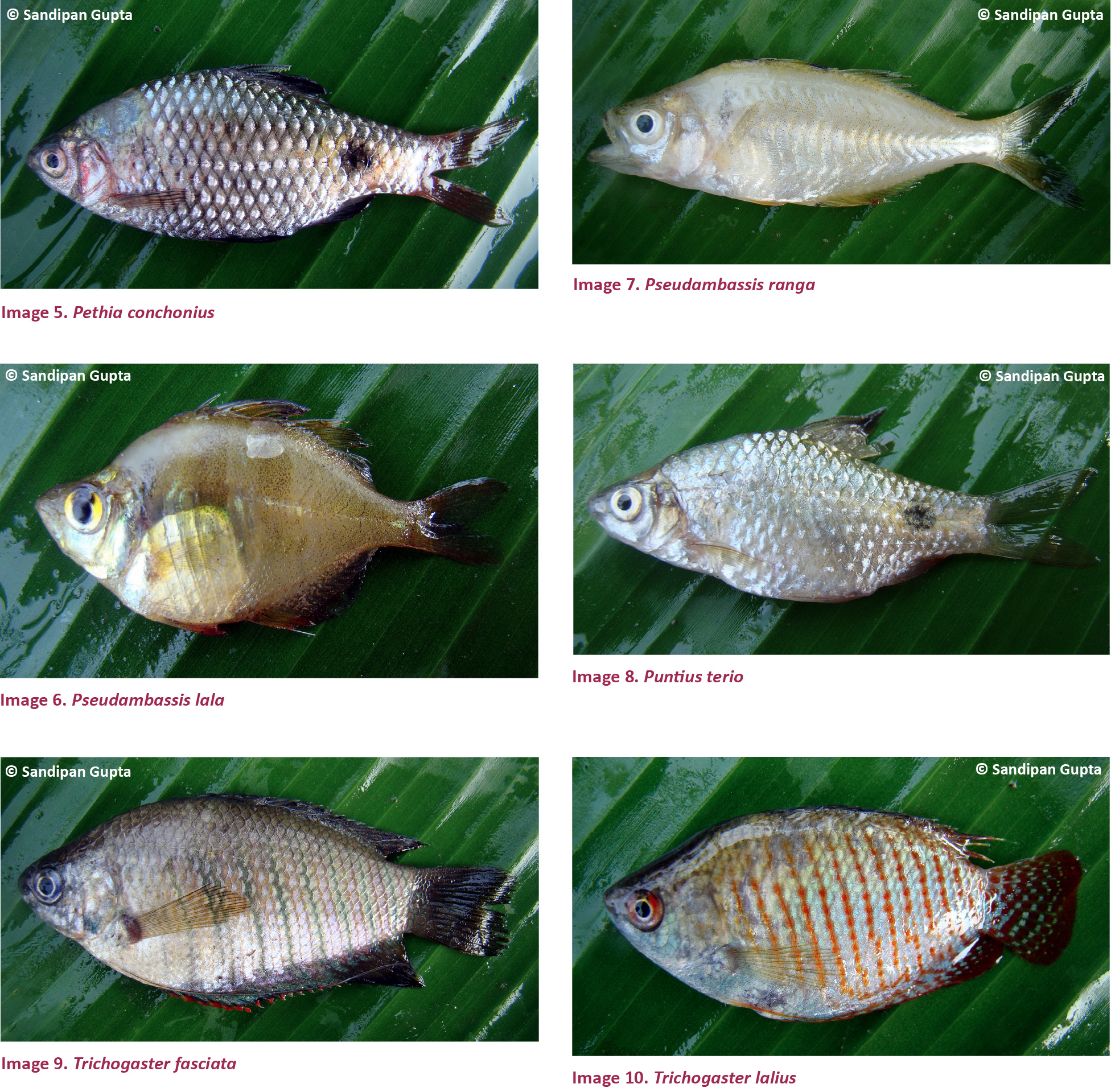 View of Indigenous ornamental freshwater ichthyofauna of the