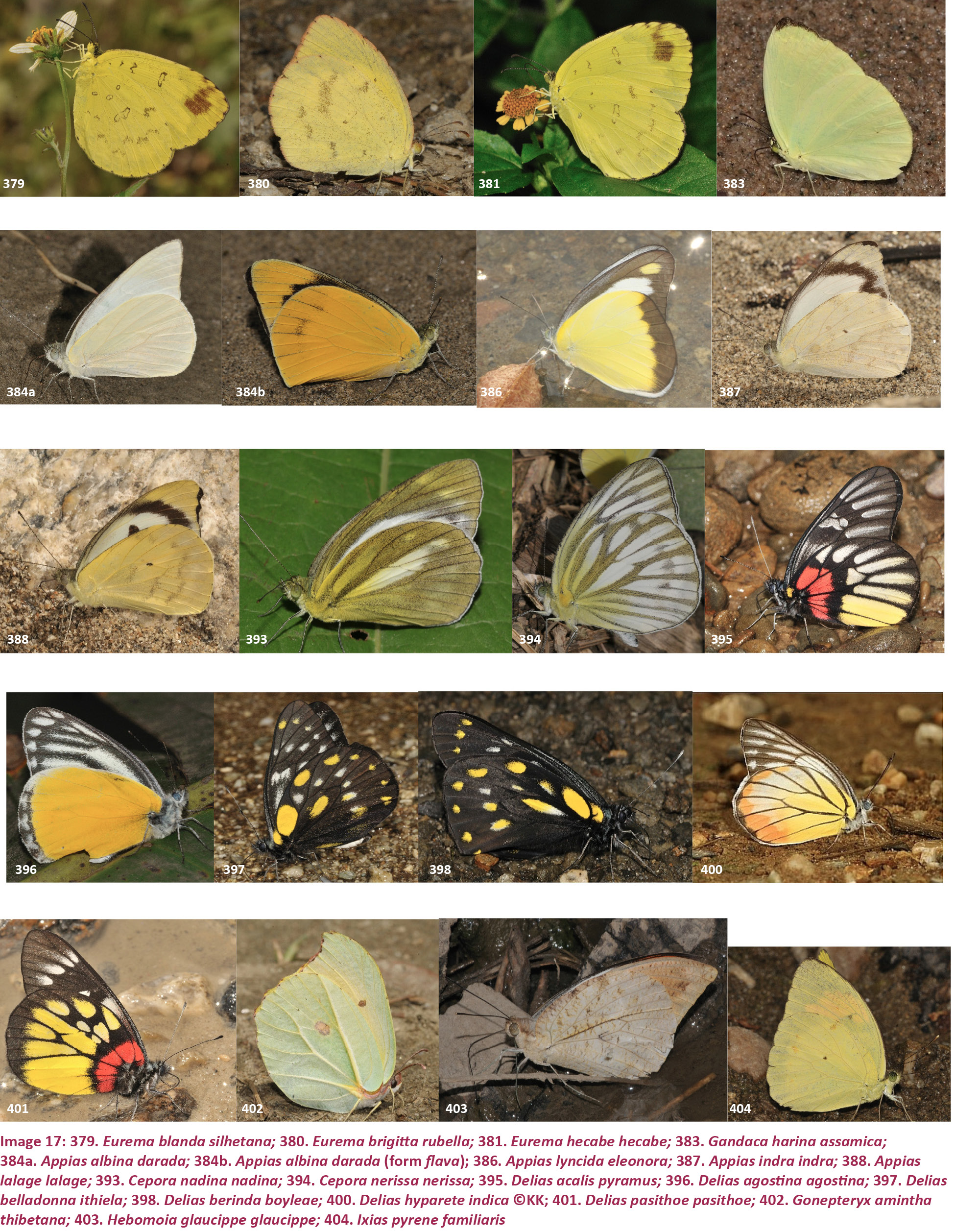View of Butterflies (Lepidoptera) of the Kameng Protected Area ... 9b9449943b3