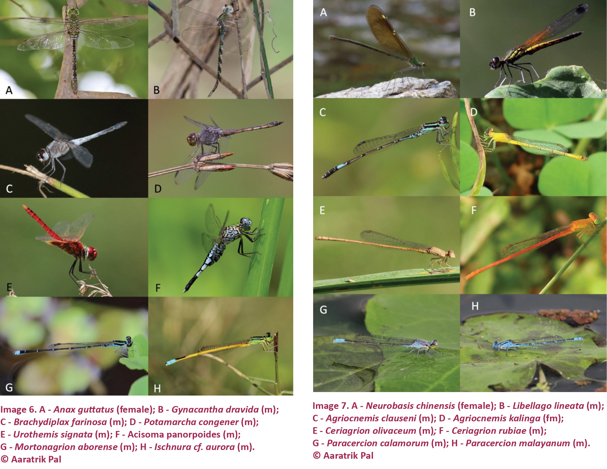 Types of dragonflies: names and photos. Representatives of the dragonfly squad 42